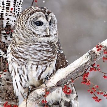 Набор трехслойных бумажных салфеток (20 шт.)  Broste Copenhagen Owl
